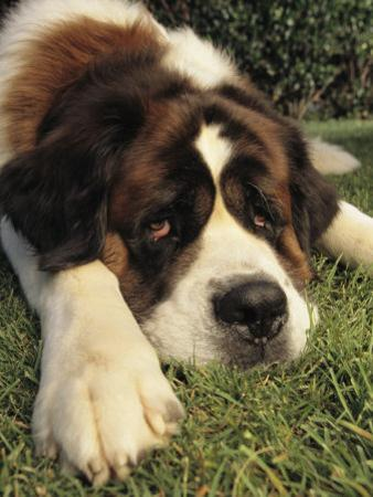 Portrait of a Sad-Eyed Saint Bernard Dog by Steve Winter