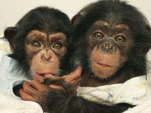 Portrait of Two Young Laboratory Chimps Used in Aids Research by Steve Winter
