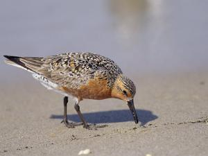 Red Knot Sandpiper Eating Horseshoe Crab Eggs by Steve Winter