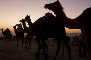 Silhouetted Dromedary Camels at Sunset at the Pushkar Camel Fair by Steve Winter