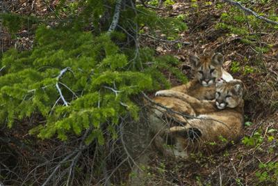 Young Cougars Rest under a Pine Tree in Wyoming's Bridger Teton National Forest by Steve Winter