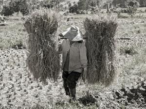 A Woman Carries Two Budles of Straw Through a Field in Thailand by Steven Boone