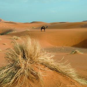 Camel in Sahara Desert by Steven Boone