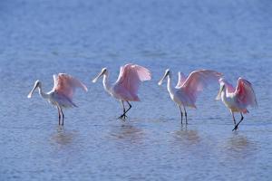Roseate Spoonbill Four Juveniles (Platalea Ajaja) Sanibel Is, Florida, US Ding Darling by Steven David Miller