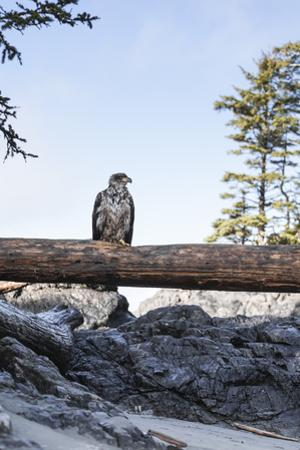 Juvenile Bald Eagle Perching on Beached Log by Steven Errico