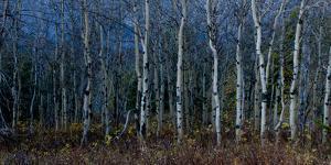 Aspen Grove in Glacier National Park, Montana by Steven Gnam