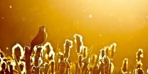 Backlit by the Sun, a Male Yellow-Headed Blackbird Sings, Swan Valley, Western Montana by Steven Gnam