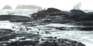 Birds Landing Along the Pacific Coast, Olympic National Park, Washington by Steven Gnam