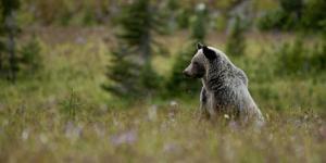 Grizzly in a Meadow in Glacier-Waterton International Peace Park, Lewis Range, Montana by Steven Gnam