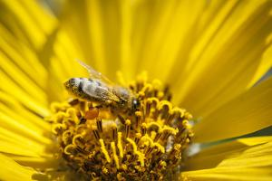 Honey Bee on a Wildflower in Montana by Steven Gnam