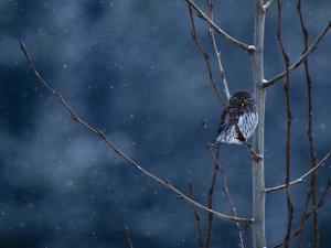 Pygmy Owl by Steven Gnam