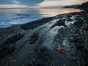 Starfish.  Puget Sound. Washington. by Steven Gnam