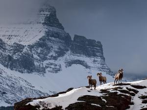 Three Rams by Steven Gnam