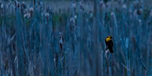 Yellow Headed Blackbird Pauses on a Cattail Head in Early Morning Light, Flathead Valley, Montana by Steven Gnam