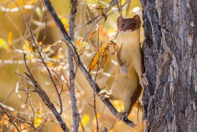 Weasle in tree in Wyoming by Steven Lewis