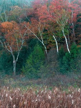Fall Birches I by Steven Maxx