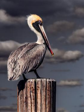 Pelican by Steven Maxx