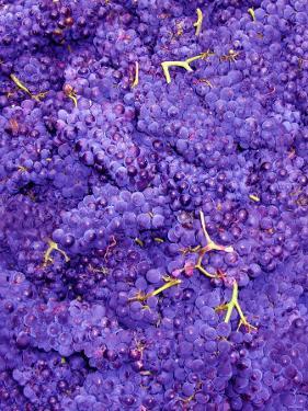 Merlot Grapes (Grape Picking in France) by Steven Morris