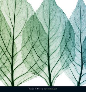 Celosia Leaves II by Steven N^ Meyers