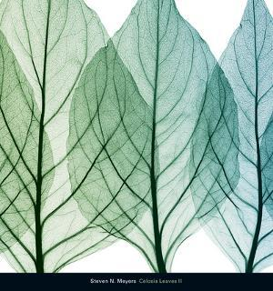 Celosia Leaves II by Steven N. Meyers
