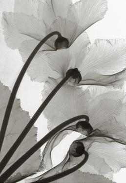 Cyclamen Study IV by Steven N. Meyers