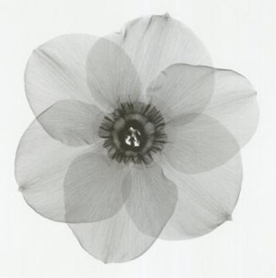 Daffodil II by Steven N. Meyers