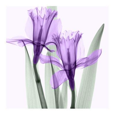 Daffodils I by Steven N. Meyers