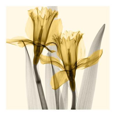 Daffodils II by Steven N. Meyers