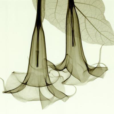 Datura by Steven N. Meyers