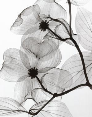 Dogwood Blossoms Positive by Steven N. Meyers