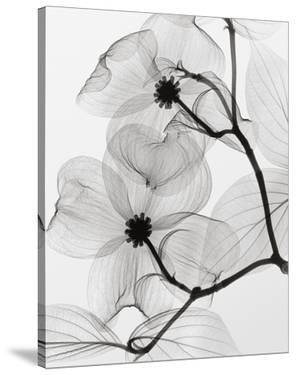 Dogwood Blossoms Positive by Steven N. Meyers