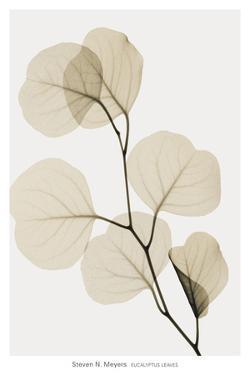 Eucalyptus Leaves by Steven N^ Meyers