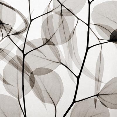 Eucalytus Leaves [Positive] by Steven N. Meyers