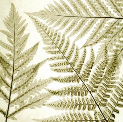Ferns III by Steven N. Meyers