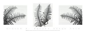 Ferns Trio by Steven N. Meyers