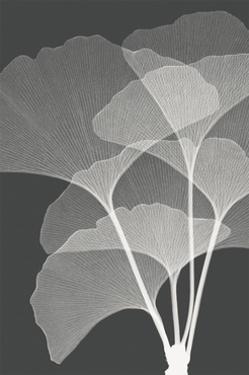 Gingkos I by Steven N. Meyers