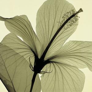 Hibiscus by Steven N. Meyers