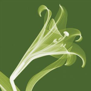 Lilies A (Negative) by Steven N. Meyers