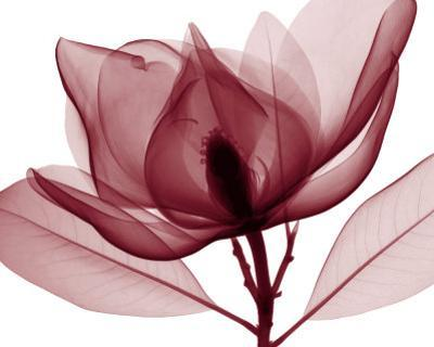 Red Magnolia I by Steven N. Meyers