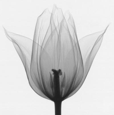 Triumph Tulip by Steven N. Meyers