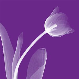 Tulip by Steven N. Meyers