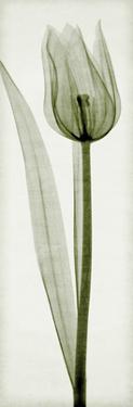 Tulipa I by Steven N. Meyers