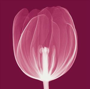 Tulips A (Negative) by Steven N. Meyers