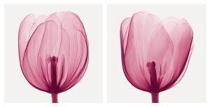 Tulips [Positive] by Steven N^ Meyers