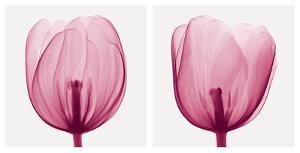 Tulips [Positive] by Steven N. Meyers