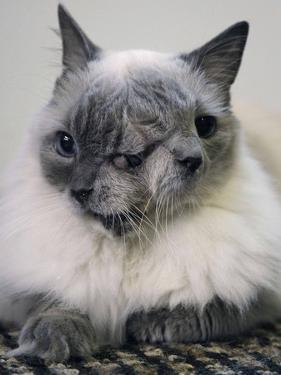 APTOPIX Two Faced Cat by Steven Senne