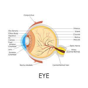 Human Eye Anatomy by stockshoppe