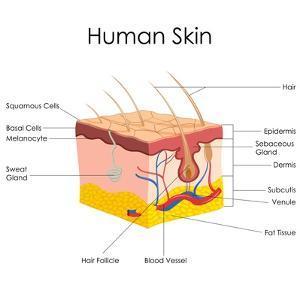 Human Skin Anatomy by stockshoppe