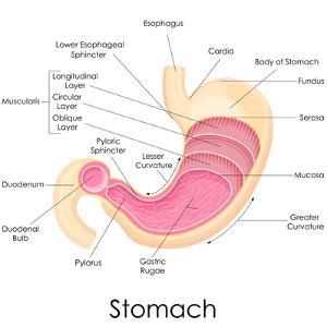 Human Stomach Anatomy by stockshoppe
