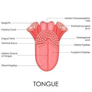 Human Tongue Anatomy by stockshoppe